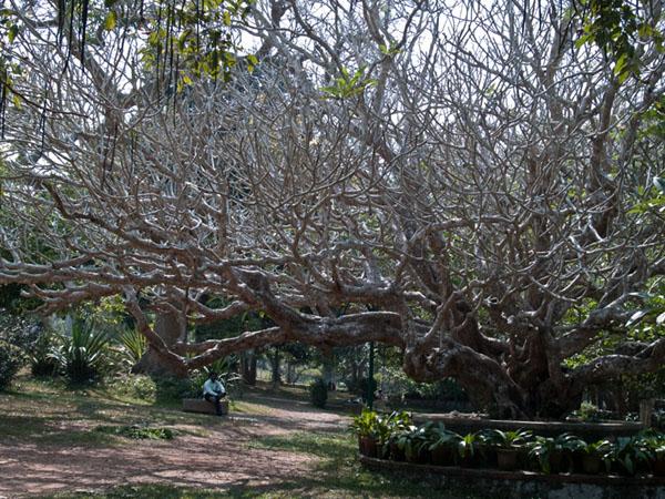Шикарное дерево в ботаническом саду Тривандрума / Фото из Индии