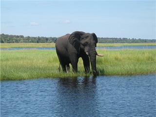 Громадный слон / Ботсвана