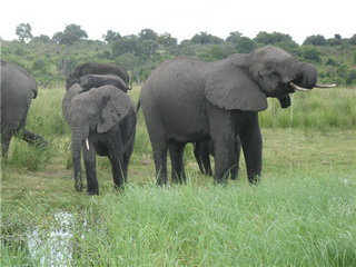 Стадо / Ботсвана