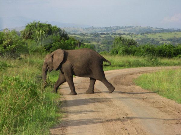 Слон в национальном парке Королевы Елизаветы, Уганда / Фото из Конго (бывш. Заир)