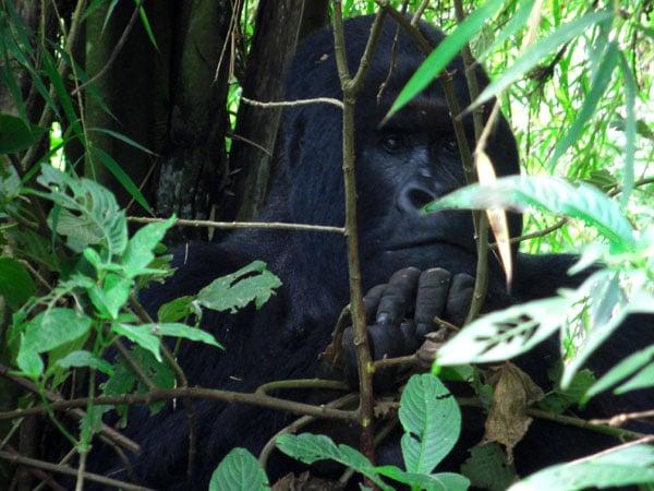 Горилла в заповеднике, Конго / Фото из Конго (бывш. Заир)