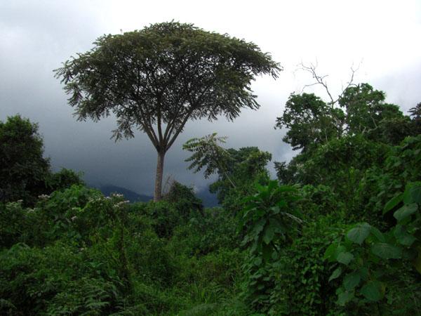 В джунглях Руанды / Фото из Конго (бывш. Заир)