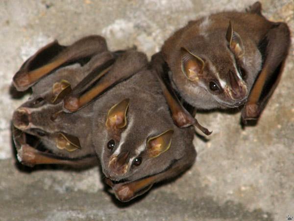 Летучие мыши в Эквадоре / Фото из Эквадора