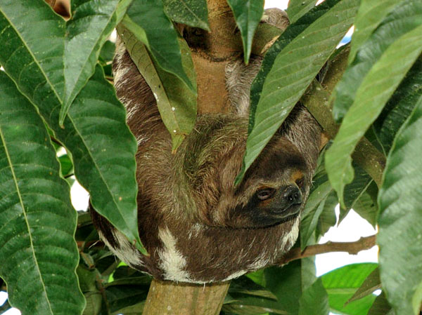 Бурогорлый трехпалый ленивец / Фото из Эквадора