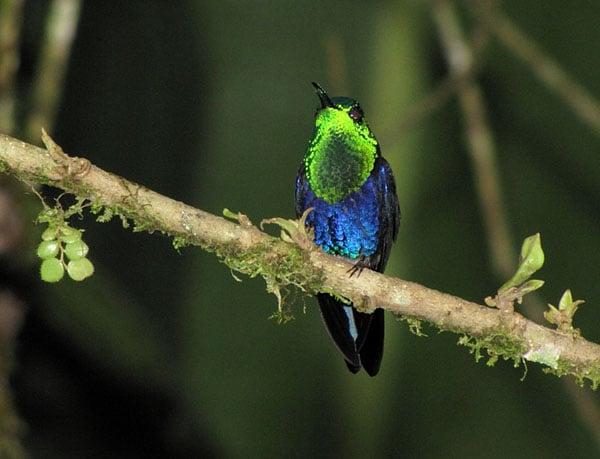 Колибри в лесах Эквадора / Фото из Эквадора