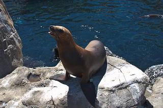 Симпатичный морской лев / США