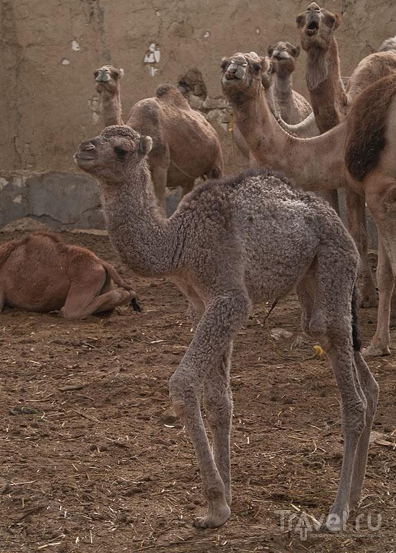 Новорожденный верблюжонок, ферма Abu Noss / Фото из Египта