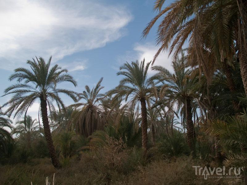 Пальмовый сад в оазисе Фарафра / Фото из Египта