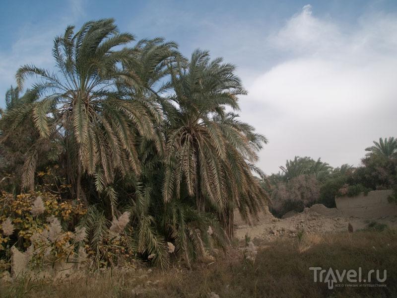 В пальмовом саду в оазисе Фарафра / Фото из Египта