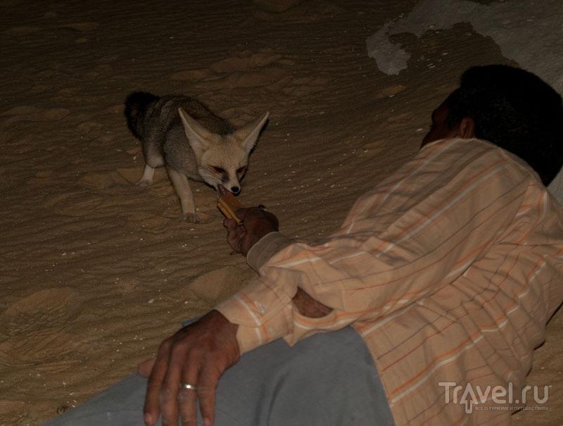 Кормление лисы в Белой пустыне / Фото из Египта