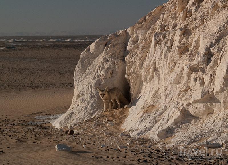 Лиса в Белой пустыне / Фото из Египта