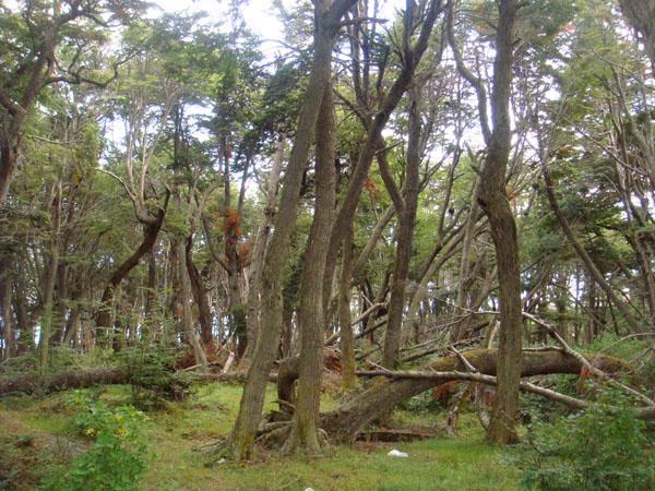 Лес на Огненной Земле в Аргентине / Фото из Аргентины