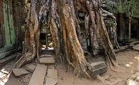 Корни и храмовая стена слились / Камбоджа