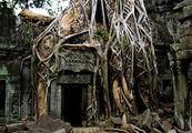 Многочисленные фикусы / Камбоджа