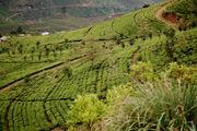 Чайные плантации / Шри-Ланка