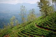 Плантации / Шри-Ланка