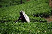 Чайные деревья маленькие / Шри-Ланка