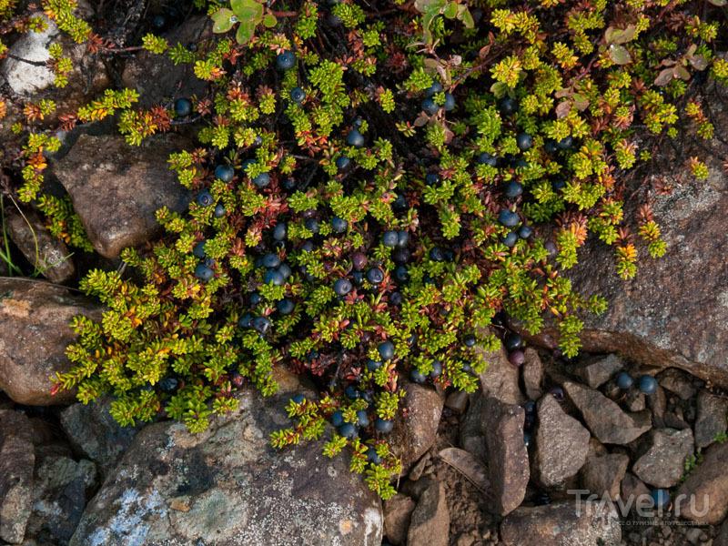 Водяника - самая популярная исландская ягода / Фото из Исландии
