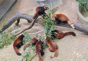 Красные панды / Китай