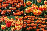 тюльпаны / Украина
