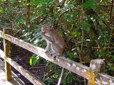 обезьяны / Малайзия