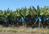 Банановая плантация / ЮАР