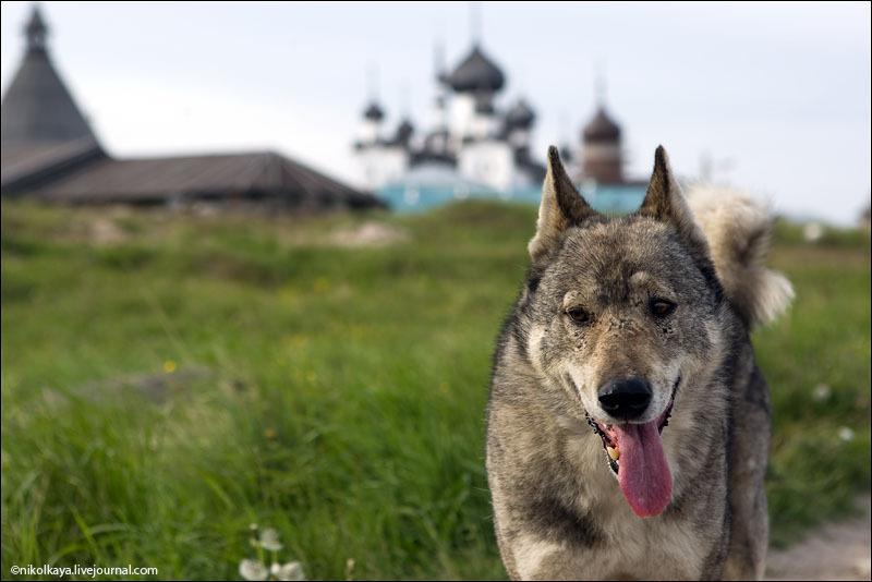 Собака с Соловецких островов / Фото из России