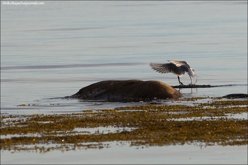 Птица с Соловецкого острова / Фото из России