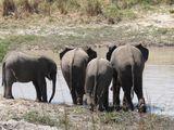 слоны / Замбия