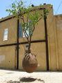 дерево / Израиль