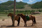 лошади / Монголия