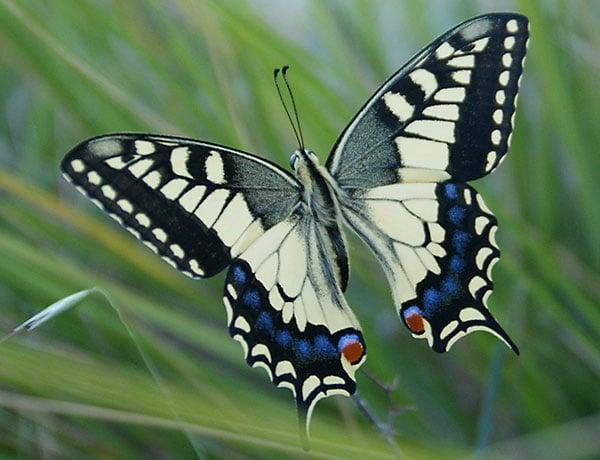 Редкий вид бабочек в Каккамо / Фото из Италии