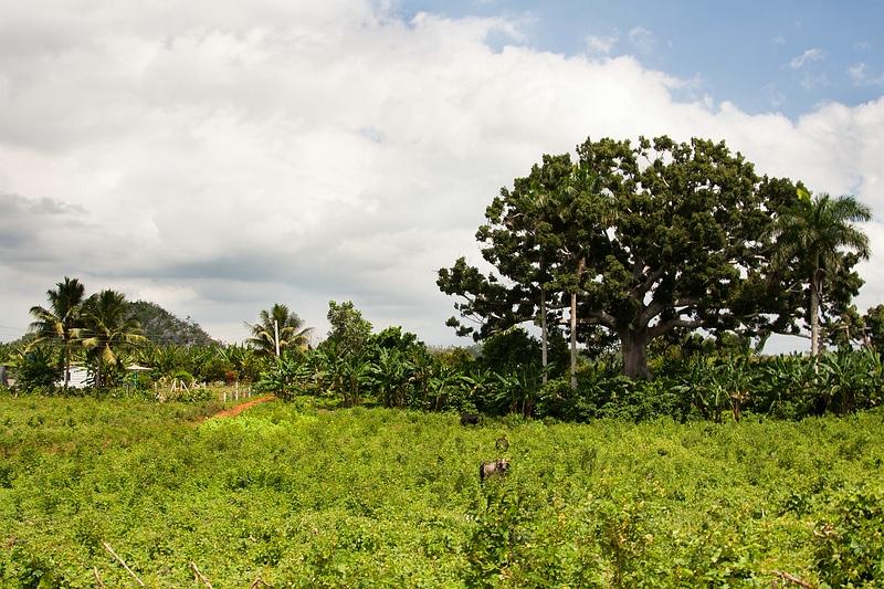 Дерево сейба на Кубе / Фото с Кубы