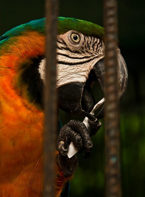 Попугай из зоопарка в Камагуэе / Фото с Кубы