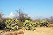 кактусы / Мексика