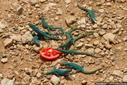 помидор / Испания