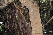 баньяновое дерево / Тайвань