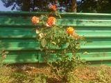 розы / Болгария
