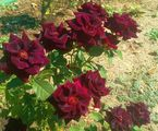ещё розы / Болгария