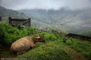 сытый буйвол / Вьетнам