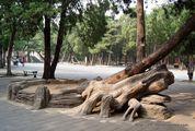 Падающие деревья / Китай