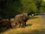 Стада буйволов / Азербайджан