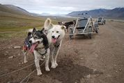 Гренландские собак / Шпицберген