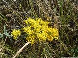 Желтые цветы / США