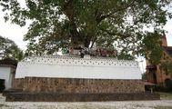 Дерево Бодхи / Шри-Ланка