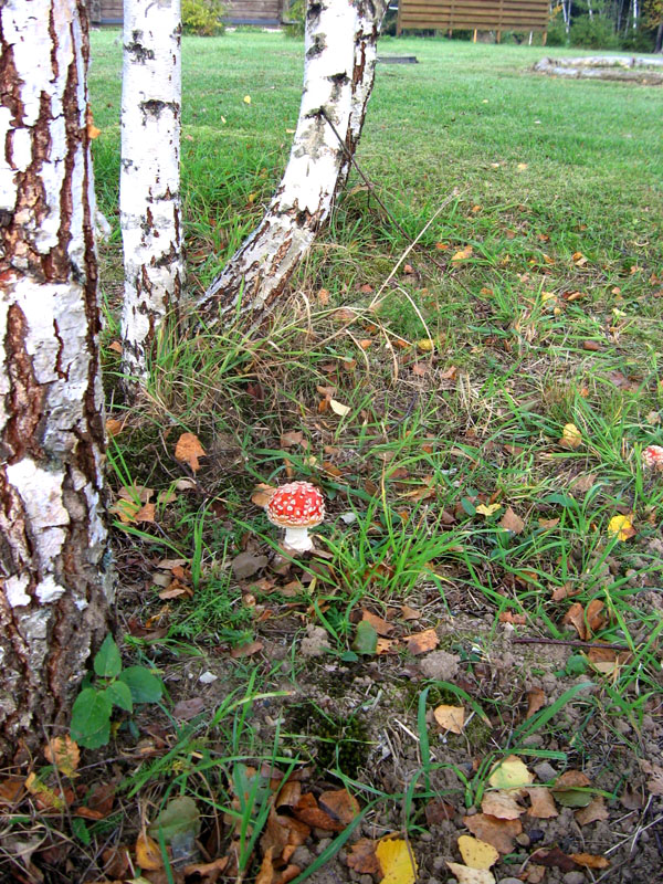Осенний красавец-мухомор, Литва / Фото из Литвы