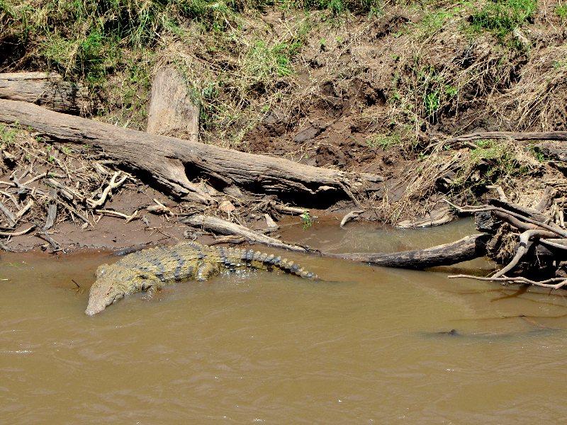 Крокодил в реке Мара в Кении / Фото из Кении