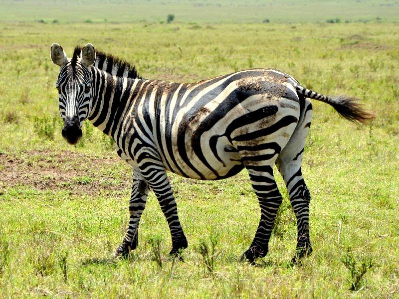 Зебра в национальном парке Масаи-Мара, Кения / Фото из Кении