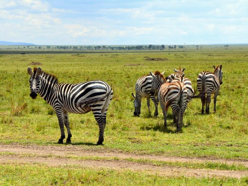 Стадо зебр в национальном парке Масаи-Мара, Кения / Фото из Кении