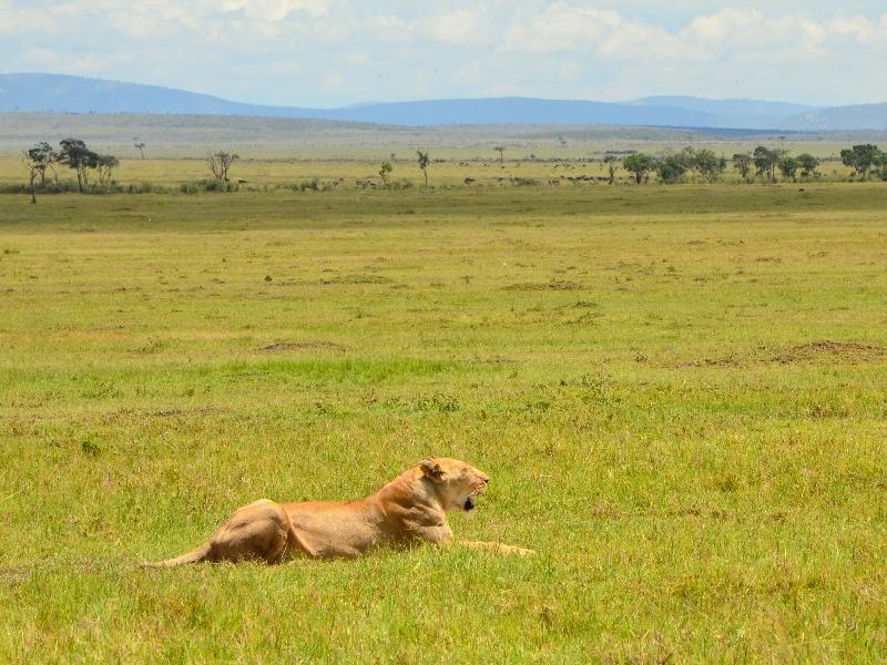 Львица в национальном парке Масаи-Мара, Кения / Фото из Кении